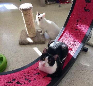 cats-on-wheel